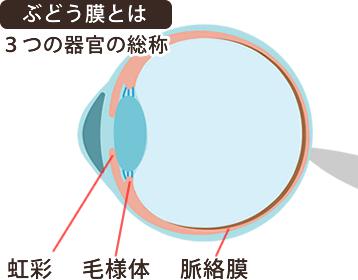 ぶどう膜とは、3つの器官の総称。
