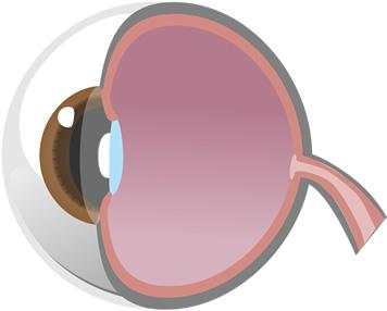目の断面・角膜